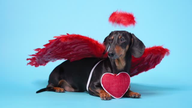 Cute black and tan dachshund lays on bright blue background with crimson red feathered wings on the back and halo above the head, with red heart in a paws. Angel dog congratulates with Valentine Day.