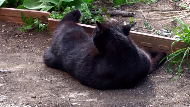 cute black cat lay down on the ground and lying in the dust close-up - gatto dal pelo corto video stock e b–roll