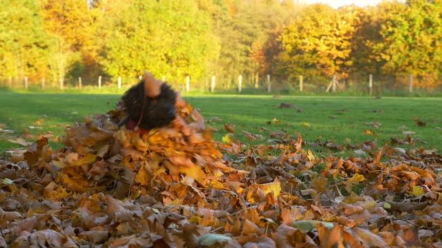 vidéos et rushes de adorable chien noir sauts sur un tas de feuilles mortes - entassé