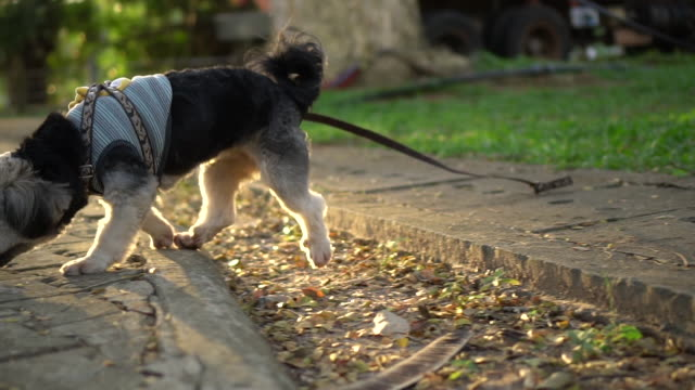 Cute black dog wearing cloth with leash walking and jumping at outdoor park in evening with bright sunset. Slow motion