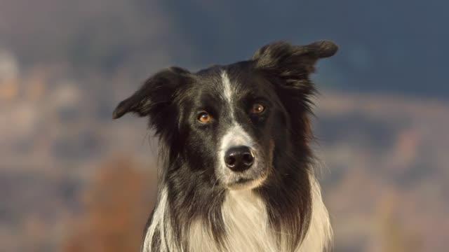 söt border collie titta på kamera - djurhuvud bildbanksvideor och videomaterial från bakom kulisserna