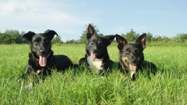 slow motion: cute border collie puppies lie obediently in a sunny grassland. - grupa zwierząt filmów i materiałów b-roll