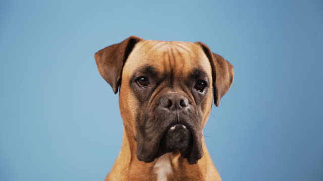 Cute boxer dog in the photo studio on blue background