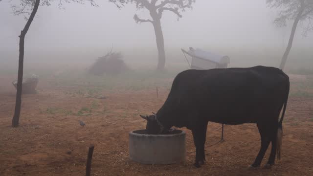 Cute brown calf or calves standing in farmland. Shivering calf in winter cold and standing alone in the morning time.