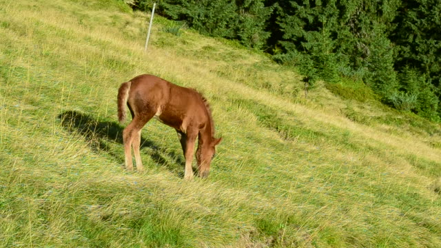 Cute brown foal stands on pasture in field in mountains video