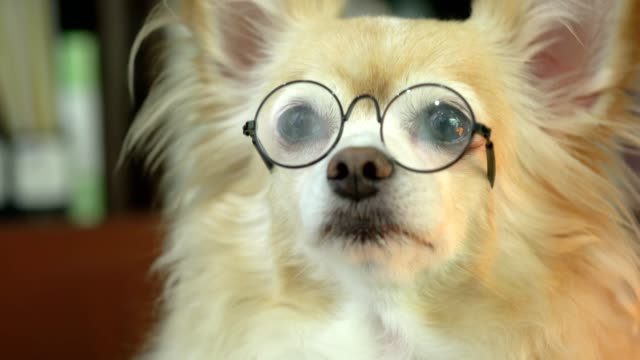 cute brown hair chihuahua happiness wearing glasses pretent to clever funny pet concept cute brown hair chihuahua happiness wearing glasses pretent to clever funny pet concept eyesight stock videos & royalty-free footage