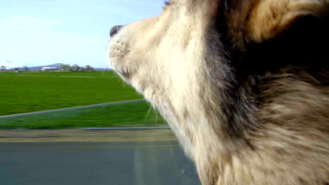 Cute canine has head out auto window video