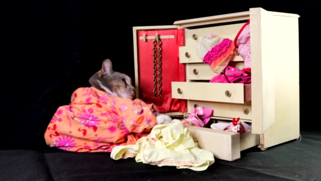 cute cat going through her clothing in her wardrobe dresser video