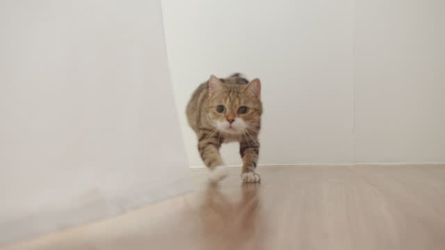 vídeos de stock, filmes e b-roll de gato bonito nas cortinas da janela olhando para algo com surpreendente - felino