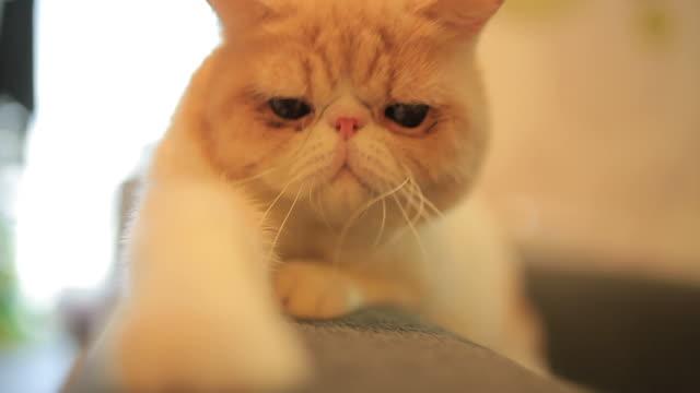 Cute cat looking at camera video
