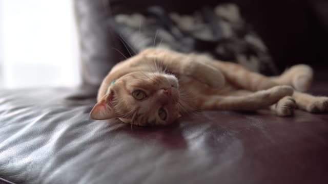 cute cat resting on a sofa. - lanuginoso video stock e b–roll
