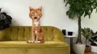 istock Cute Cat Roar at Camera Animation - Alpha and Loop 1215979852