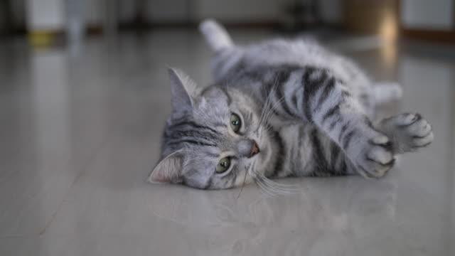 Cute cat sleeps on the floor Cute cat sleeps on the floor. ,American Shorthair ,Happy cat ,Thailand shorthair cat stock videos & royalty-free footage