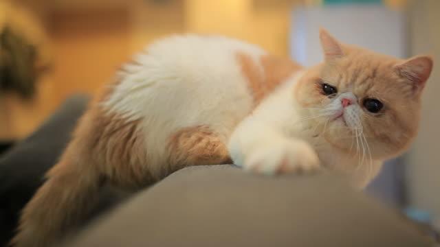 söt katt - katt inomhus bildbanksvideor och videomaterial från bakom kulisserna