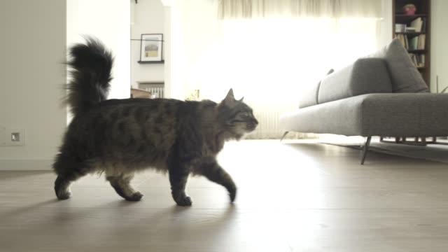 söt katt går runt i huset - katt inomhus bildbanksvideor och videomaterial från bakom kulisserna