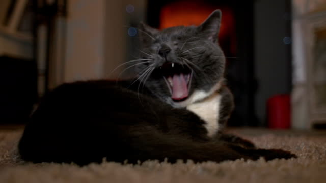 Cute Cat yawning in front of cosy log fire Stock HD video clip footage of a cute domestic cat yawning in front of a lovely warm log fire. She is lying on a rug in the lounge / living room of a house. The woodburner is burning brightly in the background. Close up shot. yawning stock videos & royalty-free footage