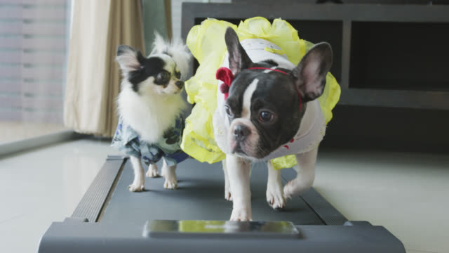 Cute Chihuahua and French Bulldog  with costume walking on a Treadmill at home
