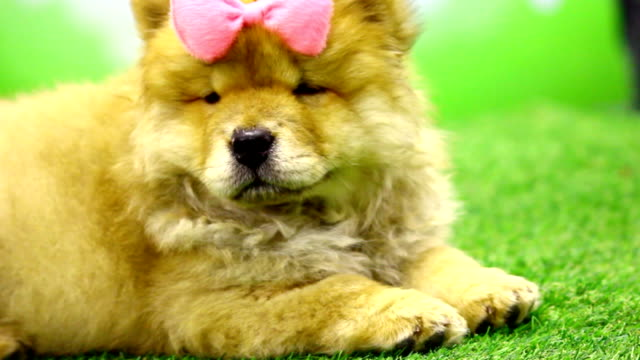 Cute chow-chow puppy