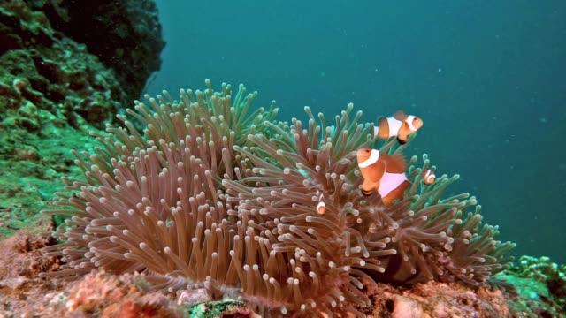 famiglia di pesci pagliaccio carina in sea anemone - armonia video stock e b–roll