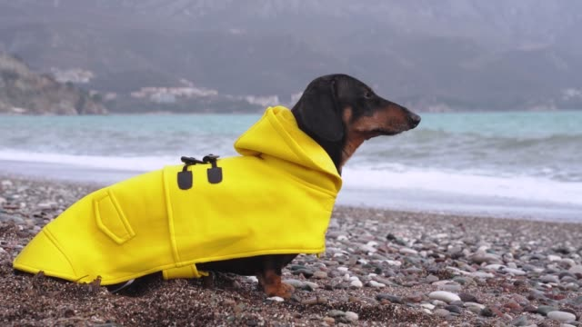 cute dachshund dog, black and tan, dressed in a yellow rain coat  sitting in against the background of the sea, waves are raging from the storm - жакет стоковые видео и кадры b-roll