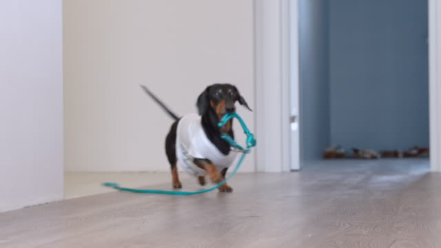Video Cute dachshund dog in a white T-shirt with print bringing a blue leash from the room, hinting to the owners that he wanting to go for a walk, barking and wagging his tail.