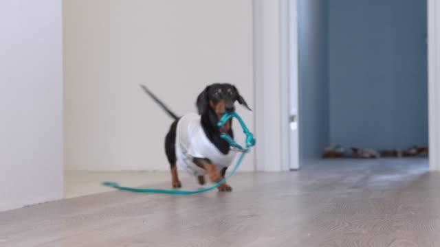 stockvideo's en b-roll-footage met schattig teckel hond in een wit t-shirt met print brengen een blauwe leiband uit de kamer, aan de eigenaren die hij willen gaan voor een wandeling, blaffen en zwaaien zijn staart. - honden