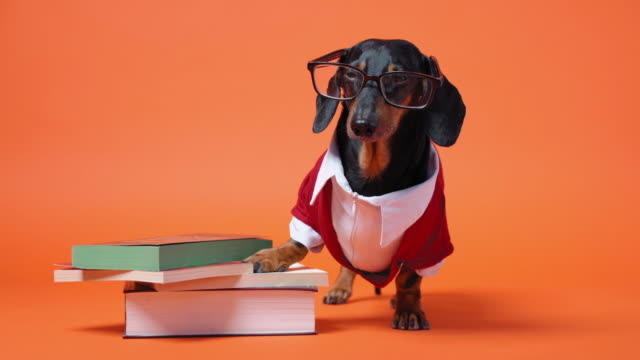 Cute dachshund dressed in red and white costume and glasses stands close to the pile of books, leaning on them with paw. Barks and runs out. Teaching or educating concept. Bright orange background.