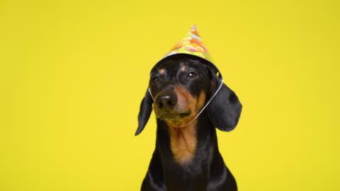 vidéos et rushes de vue avant mignonne de dachshund avec un chapeau d'anniversaire sur sa tête s'asseyant tranquillement devant le plan rapproché de caméra - chapeau