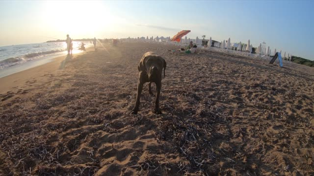 Cute dog at the beach Cute dog at the beach slow motion. hound stock videos & royalty-free footage