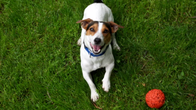 Cute dog calls to play Cute jack russell calls to play excitement stock videos & royalty-free footage