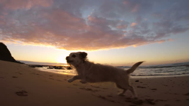 cute dog canine puppy running and playing on beach at sunrise sunset slow-mo - terrier video stock e b–roll