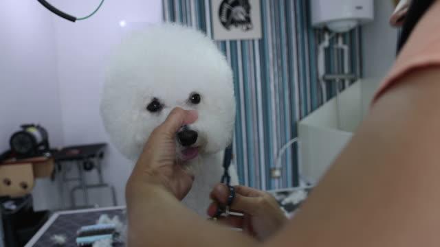 かわいい犬はグルーミングサロンで新しいヘアカットを取得 - ビションフリーゼ点の映像素材/bロール