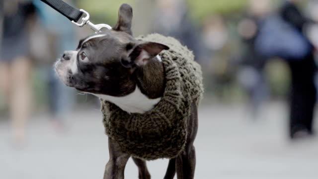 niedlicher hund im pullover-nahaufnahme-zeitlupe - hundesitter stock-videos und b-roll-filmmaterial