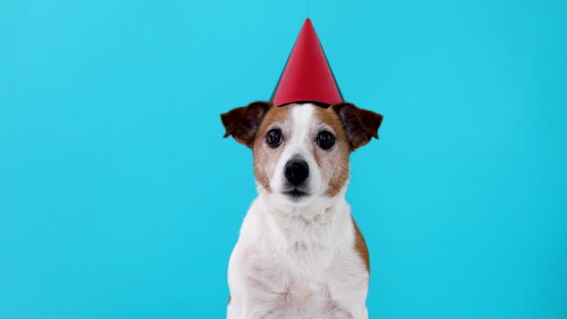 Cute dog in red party hat Designed