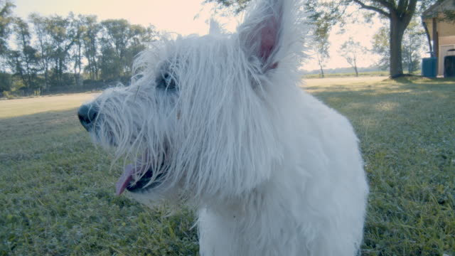 Cute dog playing and running in park Filmed with a Westie or Westhighland Terrier. panting stock videos & royalty-free footage