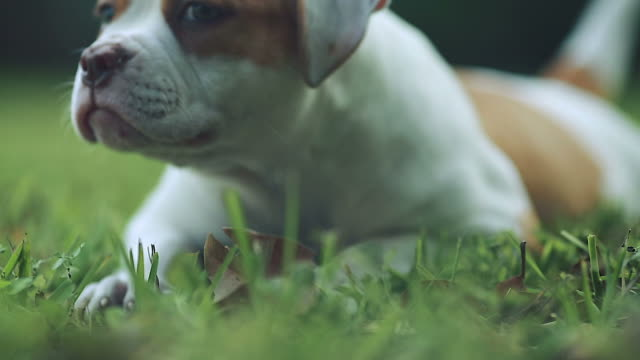 Cute dog playing in the grass on a beautiful day.  Green eyes video