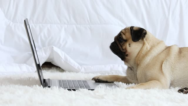 vídeos de stock e filmes b-roll de cute dog pug breed lying on ground looking on computer laptop screen working and typing with computer laptop feeling happiness and comfortable,dog and business concept - animal doméstico