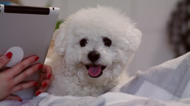 cute dog relaxing next to his owner that is using her digital tablet in bed - bichon frisé video stock e b–roll