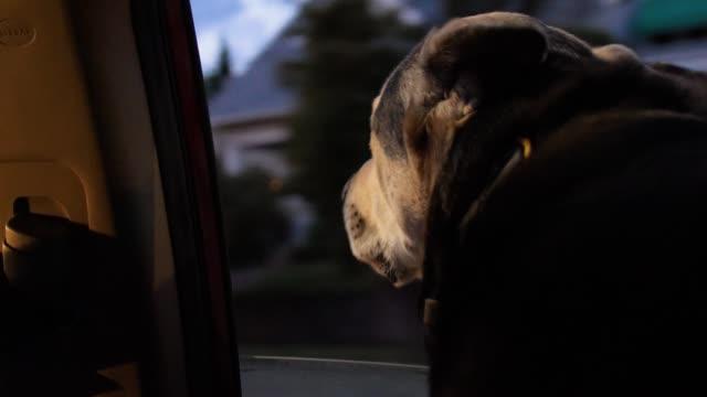 niedlichen hund reitet mit kopf aus dem autofenster in der nacht - dog car stock-videos und b-roll-filmmaterial