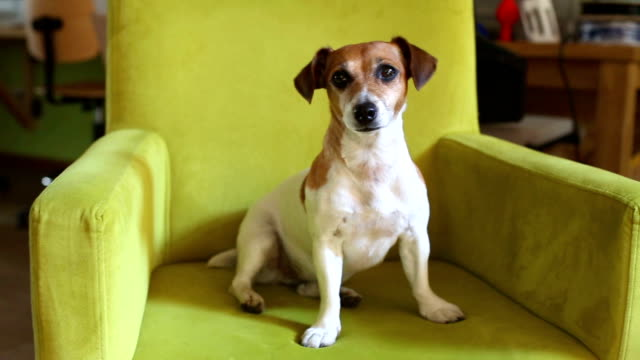 Cute dog sitting in a green cozy armchair. Puppy Shakes head speaks, listens carefully curiously. Video footage lounge chair stock videos & royalty-free footage