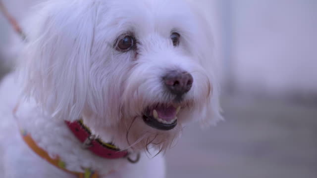 cute dog - bichon frisé video stock e b–roll
