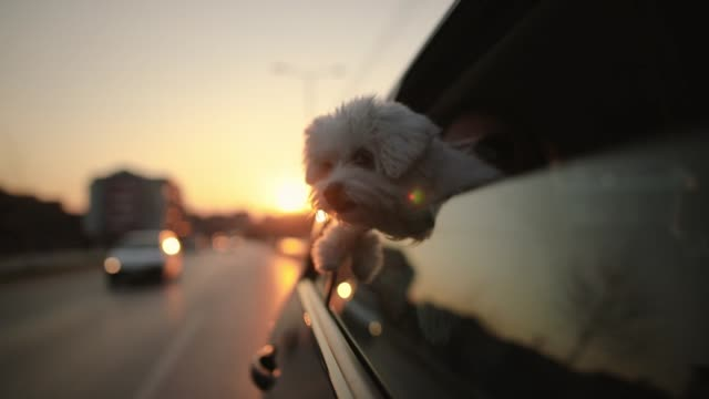 cute dog with enjoying car ride on city streets at beautiful sunset - attività del fine settimana video stock e b–roll