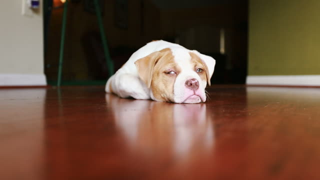 Cute Dog with green eyes laying down in front of camera.  American Bulldog video