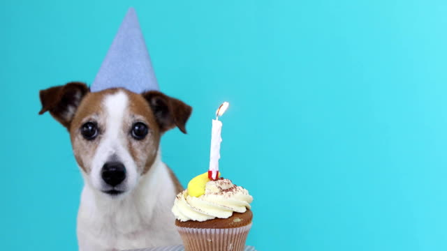 Cute dog with party hat and birthday cake Cute Jack Russell Terrier dog with party hat and birthday cake blue background happy birthday stock videos & royalty-free footage