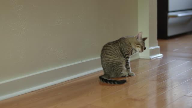 Cute Domestic Shorthair Tabby Kitten / Cat Cleaning Itself with Paw Cute Domestic Shorthair Tabby Kitten / Cat Cleaning Itself with Paw shorthair cat stock videos & royalty-free footage