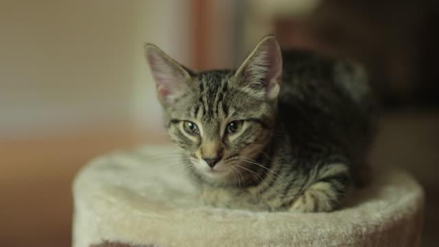Cute Domestic Shorthair Tabby Kitten / Cat Falling Asleep on Cat Tree Cute Domestic Shorthair Tabby Kitten / Cat Falling Asleep on Cat Tree shorthair cat stock videos & royalty-free footage