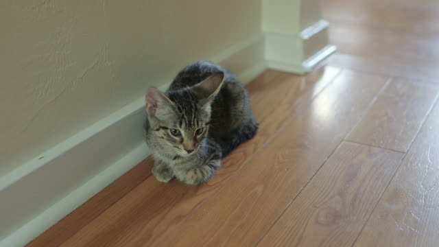 Cute Domestic Shorthair Tabby Kitten / Cat Relaxing on Hardwood Floor Cute Domestic Shorthair Tabby Kitten / Cat Relaxing on Hardwood Floor animal whisker stock videos & royalty-free footage