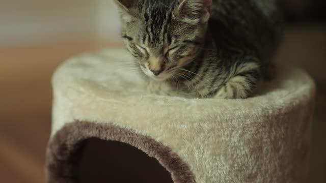 Cute Domestic Shorthair Tabby Kitten / Cat Sleeping on Cat Tree Cute Domestic Shorthair Tabby Kitten / Cat Sleeping on Cat Tree shorthair cat stock videos & royalty-free footage