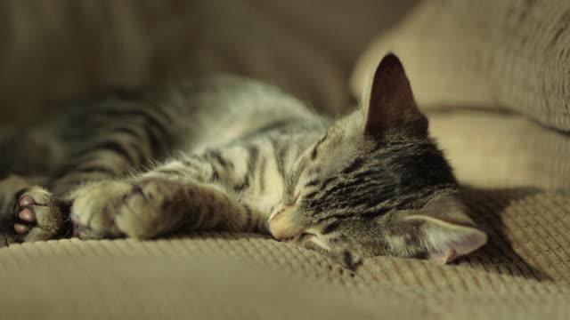 Cute Domestic Shorthair Tabby Kitten / Cat Sleeping on Large Chair Cute Domestic Shorthair Tabby Kitten / Cat Sleeping on Large Chair shorthair cat stock videos & royalty-free footage