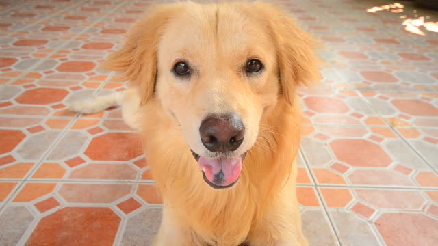 Cute Face Golden Retriever Dog Cute Face Golden Retriever Dog - High Definition Video Format 1080p - Full HD 1920x1080 - 29.97fps flea insect stock videos & royalty-free footage